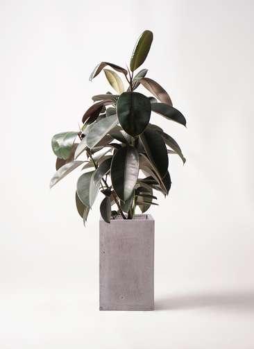 観葉植物 フィカス バーガンディ 8号 ノーマル セドナロング グレイ 付き