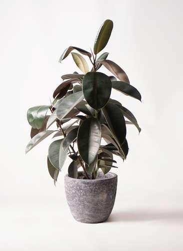 観葉植物 フィカス バーガンディ 8号 ノーマル アビスソニアミドル 灰 付き