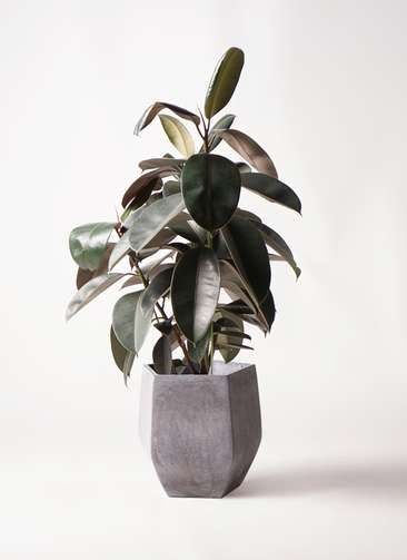 観葉植物 フィカス バーガンディ 8号 ノーマル ファイバークレイ Gray 付き