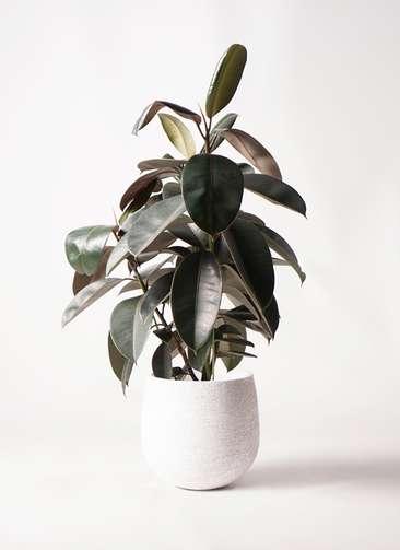 観葉植物 フィカス バーガンディ 8号 ノーマル エコストーンwhite 付き