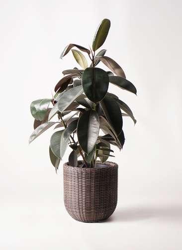 観葉植物 フィカス バーガンディ 8号 ノーマル ウィッカーポットエッグ 茶 付き