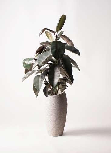 観葉植物 フィカス バーガンディ 8号 ノーマル エコストーントールタイプ Light Gray 付き