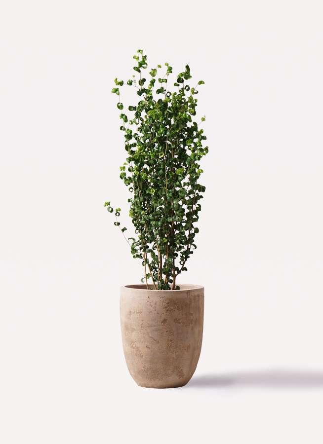 観葉植物 フィカス ベンジャミン 7号 バロック ルーガ アンティコ アルトエッグ 付き