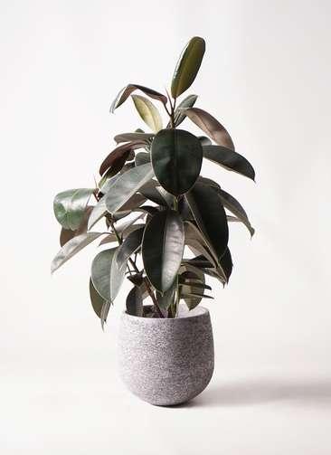 観葉植物 フィカス バーガンディ 8号 ノーマル エコストーンGray 付き