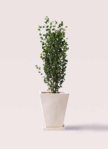 観葉植物 フィカス ベンジャミン 7号 バロック スクエアハット 白 付き