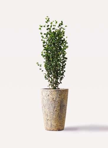 観葉植物 フィカス ベンジャミン 7号 バロック アトランティス クルーシブル 付き