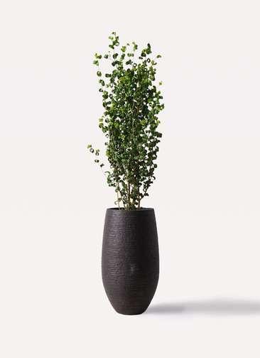 観葉植物 フィカス ベンジャミン 7号 バロック フォンティーヌトール 黒 付き