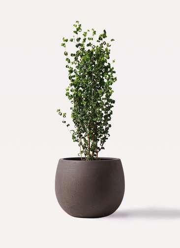 観葉植物 フィカス ベンジャミン 7号 バロック テラニアス ローバルーン アンティークブラウン 付き