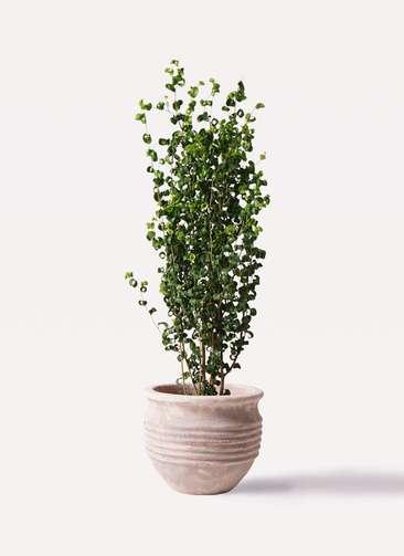 観葉植物 フィカス ベンジャミン 7号 バロック テラアストラ リゲル 赤茶色 付き