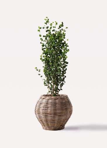 観葉植物 フィカス ベンジャミン 7号 バロック グレイラタン 付き