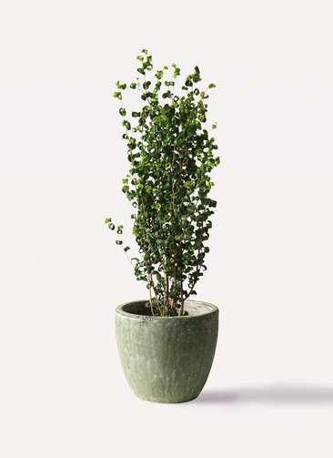 観葉植物 フィカス ベンジャミン 7号 バロック アビスソニアミドル 緑 付き