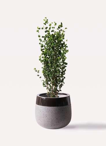 観葉植物 フィカス ベンジャミン 7号 バロック ファイバーストーンタウルス 黒 付き