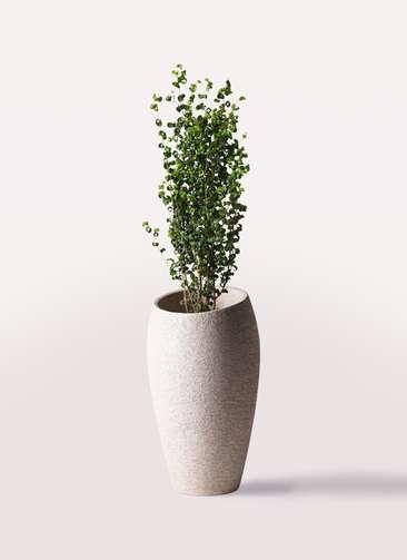 観葉植物 フィカス ベンジャミン 7号 バロック エコストーントールタイプ Light Gray 付き