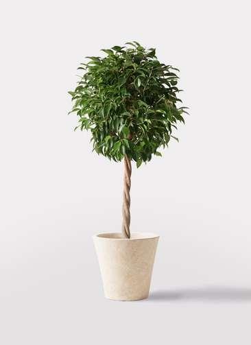 観葉植物 フィカス ベンジャミン 8号 玉造り フォリオソリッド クリーム 付き