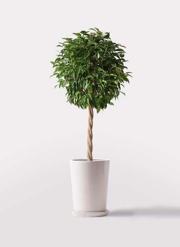 観葉植物 フィカス ベンジャミン 8号 玉造り LO ラウンド 付き