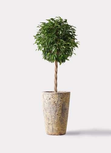 観葉植物 フィカス ベンジャミン 8号 玉造り アトランティス クルーシブル 付き