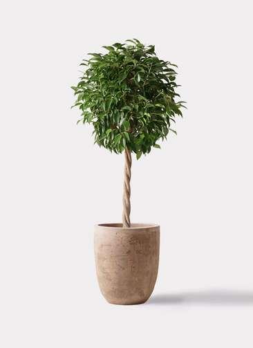 観葉植物 フィカス ベンジャミン 8号 玉造り ルーガ アンティコ アルトエッグ 付き
