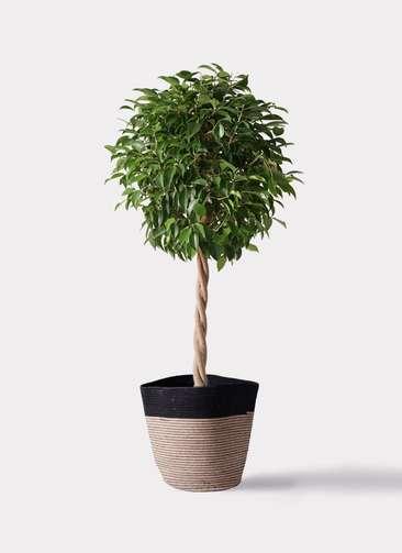 観葉植物 フィカス ベンジャミン 8号 玉造り リブバスケットNatural and Black 付き