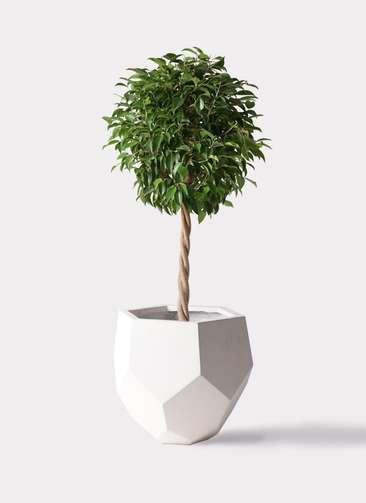 観葉植物 フィカス ベンジャミン 8号 玉造り ポリゴヘクサ 白 付き