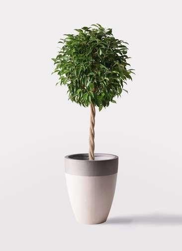 観葉植物 フィカス ベンジャミン 8号 玉造り ファイバーストーンカプリ サンディホワイト 付き