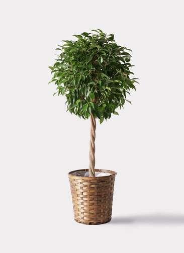 観葉植物 フィカス ベンジャミン 8号 玉造り 竹バスケット 付き