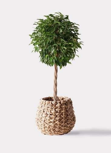 観葉植物 フィカス ベンジャミン 8号 玉造り ラッシュバスケット Natural 付き