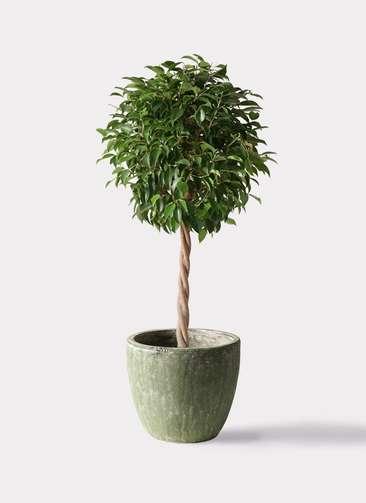 観葉植物 フィカス ベンジャミン 8号 玉造り アビスソニアミドル 緑 付き