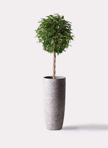 観葉植物 フィカス ベンジャミン 8号 玉造り エコストーントールタイプ Gray 付き