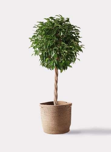 観葉植物 フィカス ベンジャミン 8号 玉造り リブバスケットNatural 付き
