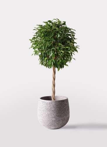 観葉植物 フィカス ベンジャミン 8号 玉造り エコストーンGray 付き
