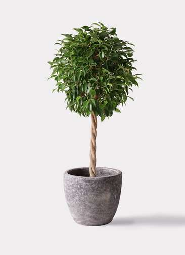 観葉植物 フィカス ベンジャミン 8号 玉造り アビスソニアミドル 灰 付き