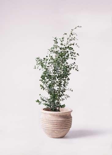 観葉植物 ユーカリ 8号 グニー テラアストラ リゲル 赤茶色 付き
