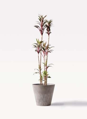 観葉植物 コルディリネ (コルジリネ) ターミナリス 8号 アートストーン ラウンド グレー 付き