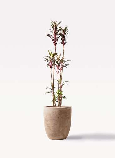 観葉植物 コルディリネ (コルジリネ) ターミナリス 8号 ルーガ アンティコ アルトエッグ 付き