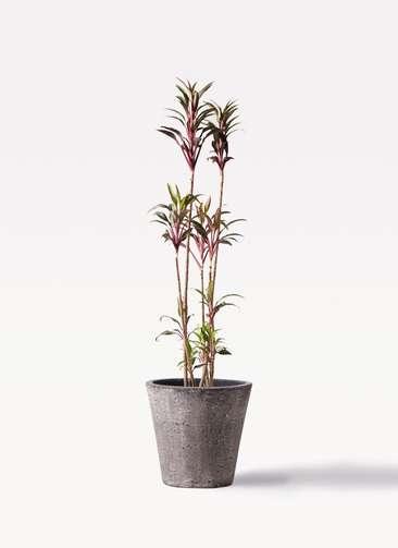 観葉植物 コルディリネ (コルジリネ) ターミナリス 8号 フォリオソリッド ブラックウォッシュ 付き