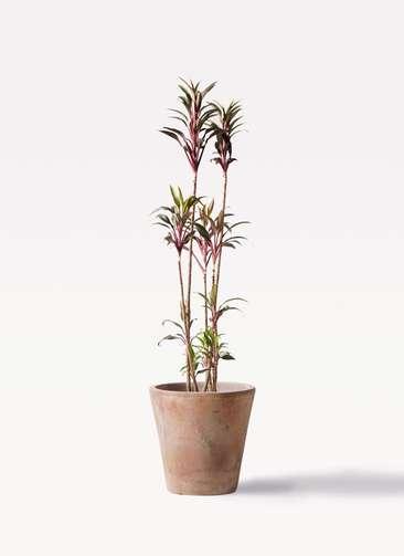 観葉植物 コルディリネ (コルジリネ) ターミナリス 8号 ルーガ アンティコ ソリッド 付き