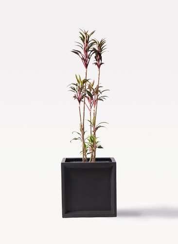 観葉植物 コルディリネ (コルジリネ) ターミナリス 8号 ブリティッシュキューブ 付き