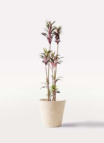観葉植物 コルディリネ (コルジリネ) ターミナリス 8号 フォリオソリッド クリーム 付き