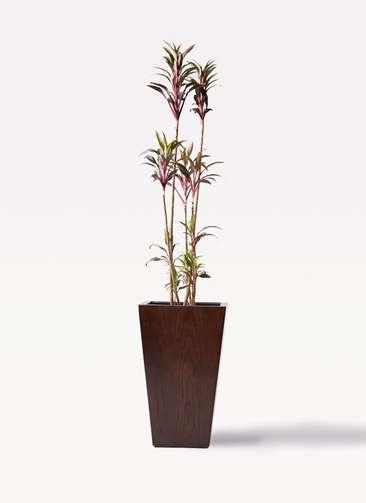 観葉植物 コルディリネ (コルジリネ) ターミナリス 8号 MOKU スクエア 付き