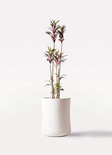 観葉植物 コルディリネ (コルジリネ) ターミナリス 8号 バスク ミドル ホワイト 付き