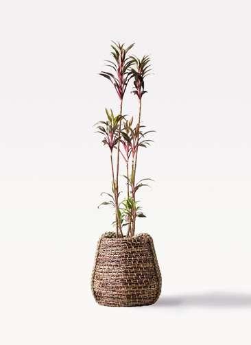 観葉植物 コルディリネ (コルジリネ) ターミナリス 8号 リゲル 茶 付き