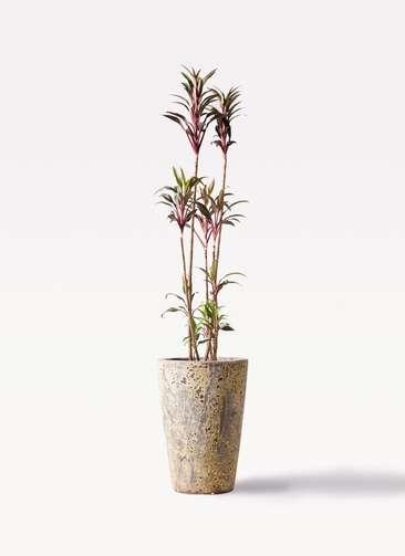 観葉植物 コルディリネ (コルジリネ) ターミナリス 8号 アトランティス クルーシブル 付き