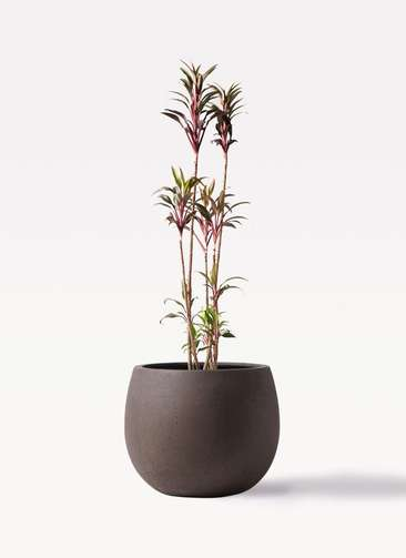 観葉植物 コルディリネ (コルジリネ) ターミナリス 8号 テラニアス ローバルーン アンティークブラウン 付き