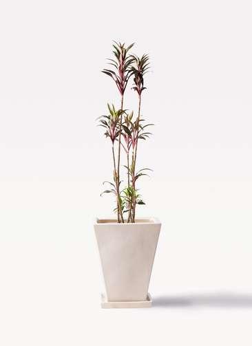 観葉植物 コルディリネ (コルジリネ) ターミナリス 8号 スクエアハット 白 付き