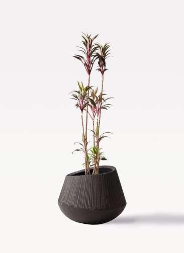 観葉植物 コルディリネ (コルジリネ) ターミナリス 8号 エディラウンド 黒 付き