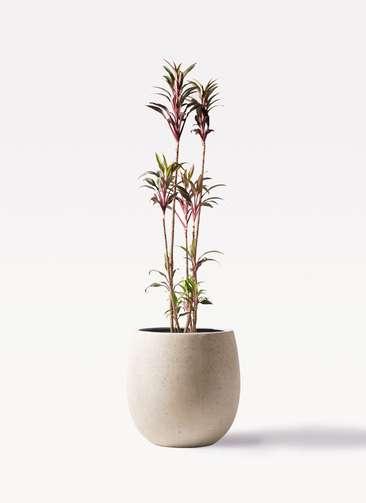 観葉植物 コルディリネ (コルジリネ) ターミナリス 8号 テラニアス バルーン アンティークホワイト 付き