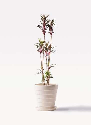 観葉植物 コルディリネ (コルジリネ) ターミナリス 8号 サバトリア 白 付き