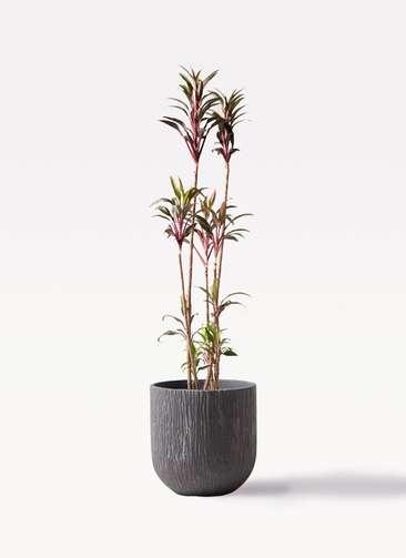 観葉植物 コルディリネ (コルジリネ) ターミナリス 8号 カルディナダークグレイ 付き