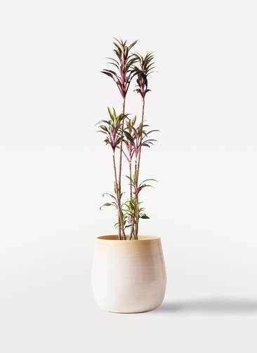 観葉植物 コルディリネ (コルジリネ) ターミナリス 8号 ササール 白 付き