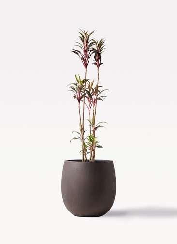 観葉植物 コルディリネ (コルジリネ) ターミナリス 8号 テラニアス バルーン アンティークブラウン 付き
